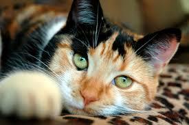 gatto calico diversi patrimoni genetici